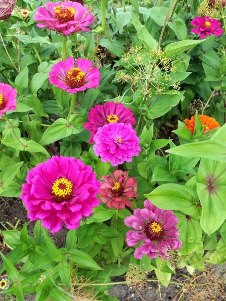 Najpiękniejsze rośliny z ogrodów naszych babć w szkolnym ogródku dydaktycznym